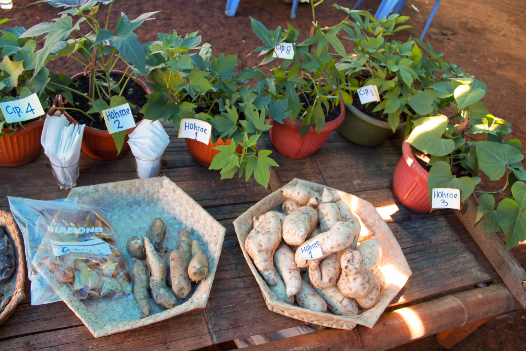 Some of the sweet potato varieties tested.
