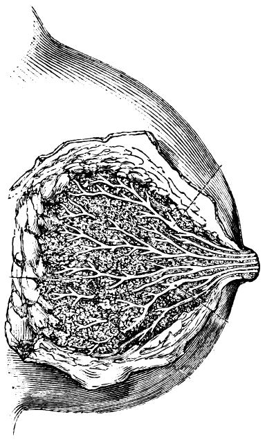 Mammary gland, vintage engraved illustration. Paul Labarthe - 1885