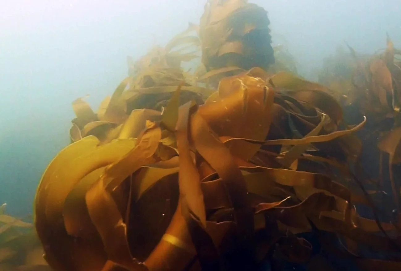 Kelp forests play an important role in the health of our marine environment. Image credit T Wernberg