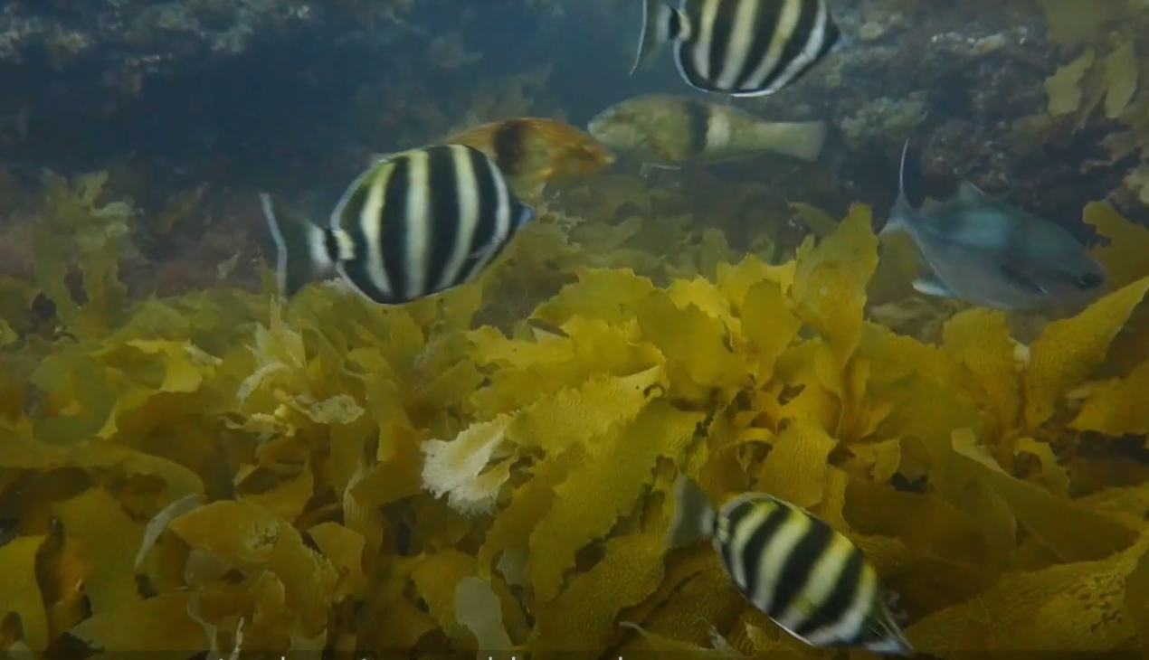 40-60% of the world's kelp forests have declined over the past 50 years. Image credit T Wernberg