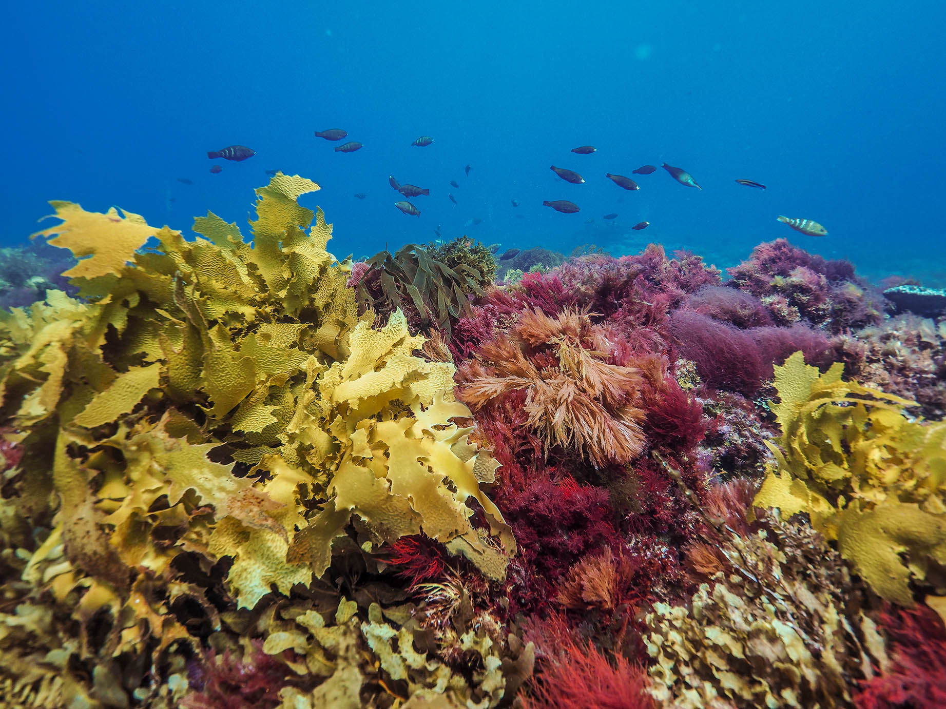 The Great Southern Reef is a biodiversity hotspot spanning 8,000kms across Southern Australia. Image credit Joan Costa