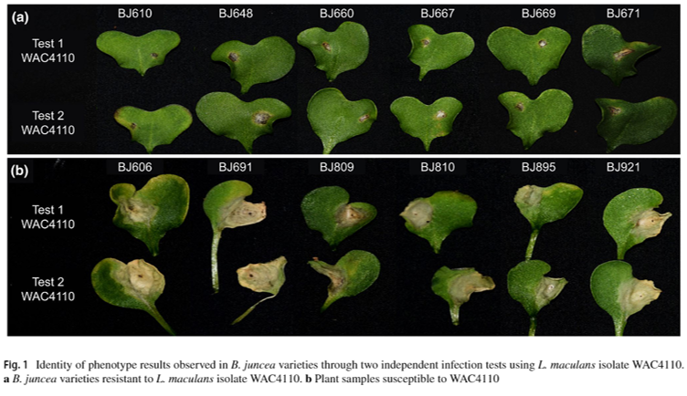 Identifying 𝘙𝘭𝘮6 resistance genes against Blackleg in 𝘉𝘳𝘢𝘴𝘴𝘪𝘤𝘢 𝘫𝘶𝘯𝘤𝘦𝘢